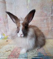 super zutrauliche Angora Kaninchen Babys