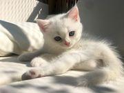 Süße Katzenbabys BKH Kitten suchen