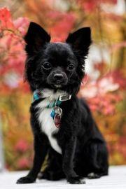 Mini Langhaar Chihuahua Deckrüde Kein
