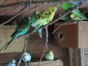 Sittiche Kanarienvögel