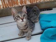 George verspielter Kittenjunge ca 4