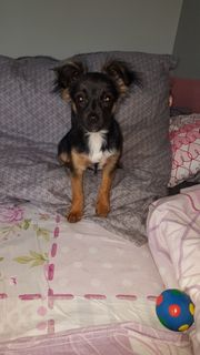 Chihauhaua Yorkshire Terrier Mischling Welpe