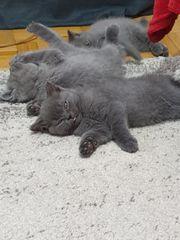 Bkh Britisch Kurzhaar Baby kitten