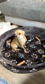 Chihuahua Deckrüde reinrassig