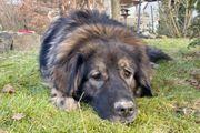 Sora 1 Jahr - Leonberger-Sarplaninac-Mix - Tierhilfe