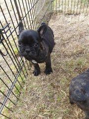 Reserviert Französische Bulldoggen Welpe Hündin