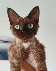 Devon Rex Katze 10 Monate