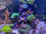 Meerwasser Ableger Zoanthus Briareum Rhodactis