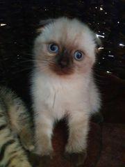 Scottish Fold Kitte zu verkaufen