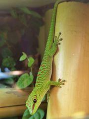 Phelsuma grandis großer Madagaskar Taggecko