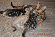 Kätzchen Mix Bengal BKH silber