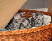 Bengal Reinrassige Katzen Bengalkitten Kitten