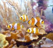 Meerwasser Anemonenfische Paar 3-4cm