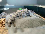 Wunderschöne französische Bulldoggen Welpen in