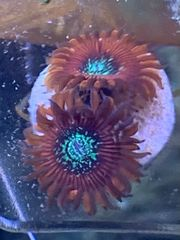 Zoanthus Magican Koralle Meerwasser