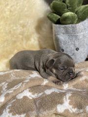 Französische Bulldoggen Welpen Blue Tan