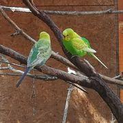 Wellensittiche 2 Paare in Gartenvoliere