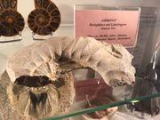 Fossilien 2 verschiedene Ammoniten
