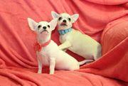 Süße Mini Chihuahua Welpen Weibchen