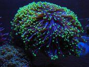 Euphyllia Black Torch Meerwasser Aquarium