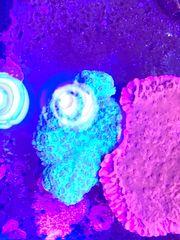 Gesunde und wachsende Korallen