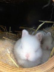 Zwerg Kaninchen HERMELIN weiß mit
