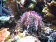 Meerwasser Slamacis bi-color Seeigel