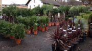 AKTION Winterharte Palmen und Olivenbäume -