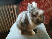 Zwei tolle Lowenkopf Kaninchen Babys