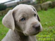 Labrador Welpen silber