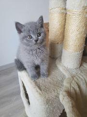 BKH - Kitten zu verkaufen