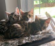Bengal kitten mit Stammbaum suchen