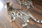 Wurf Bengal Kitten vom März