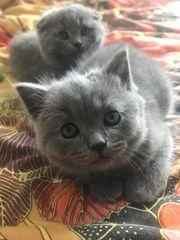 Süße BKH-Katzen