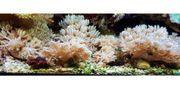 Meerwasseraquaristik - pumpende Xenien - Xenia umbellata