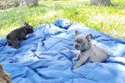 Reinrassige Welpen der französischen Bulldogge