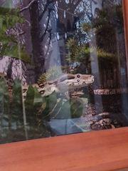 Boa conatrictor terrarium