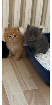 Reinrassiger Perser kitten