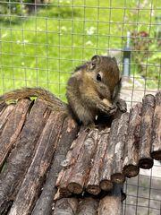 Baumstreifenhörnchen Weibchen