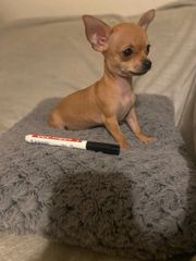 Chihuahua mini Hündin