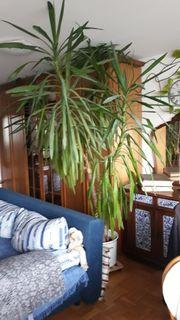 Yucca-Palme 230 cm 4 Stämme