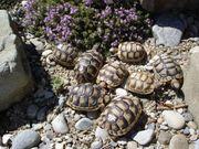 Breitrandschildkröten Nz 18 und 19