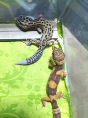 0 2 Leopardgeckos