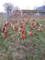 Hühner Hennen Legehennen