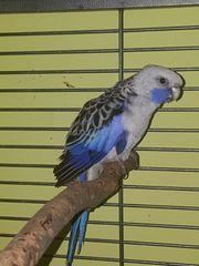 Pennansittich Blau Weiß Hahn