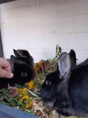 Kaninchenbabys 8 Wochen alt