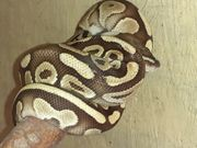 0 1 Lesser yellowbelly Python