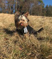 Yorkshire Terrier Welpe Rüde