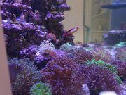 diverse Korallen SPS LPS Weiche