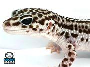 Leopardgecko Mack Super Snow Weibchen